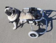Ein mops in einem handgefertigten Rollstuhl von die Frima Hunderollwagen.de